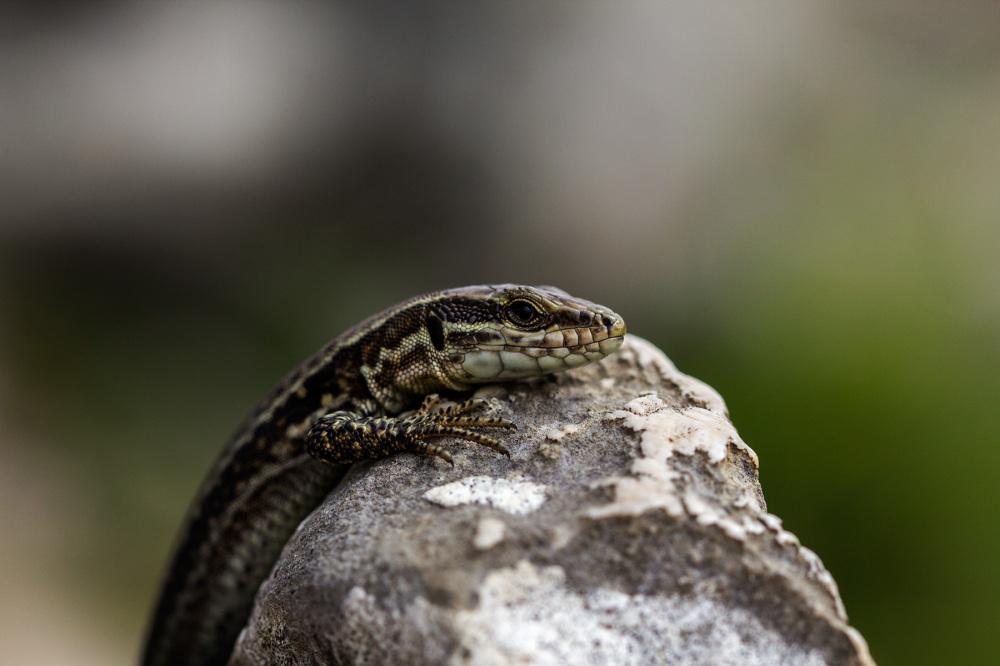 picos-da-europa lagartixa espanha