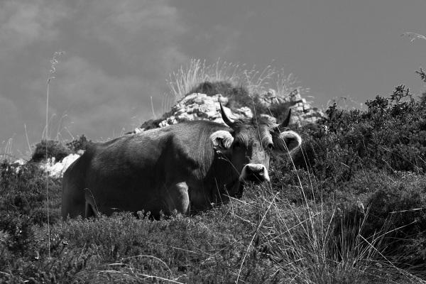 espanha picos-da-europa vaca