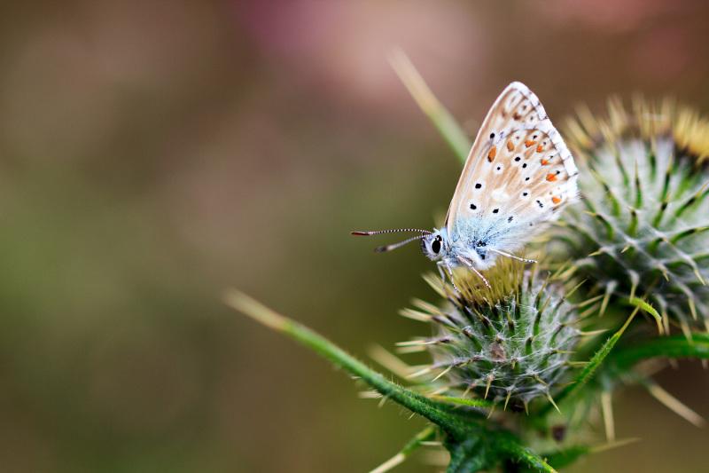 espanha picos-da-europa borboleta