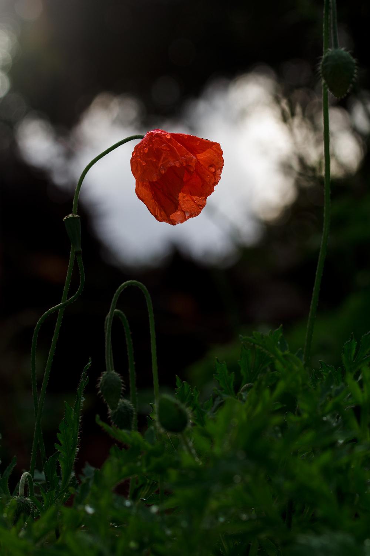 flor papoilas inverno
