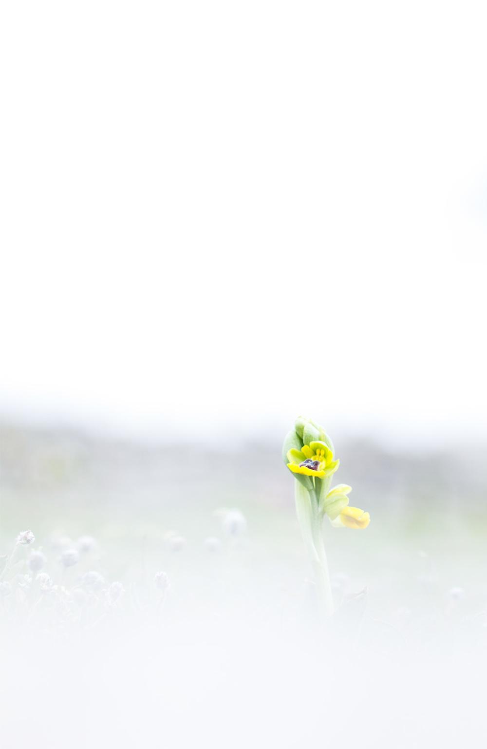 pnsac primavera flor orquídea