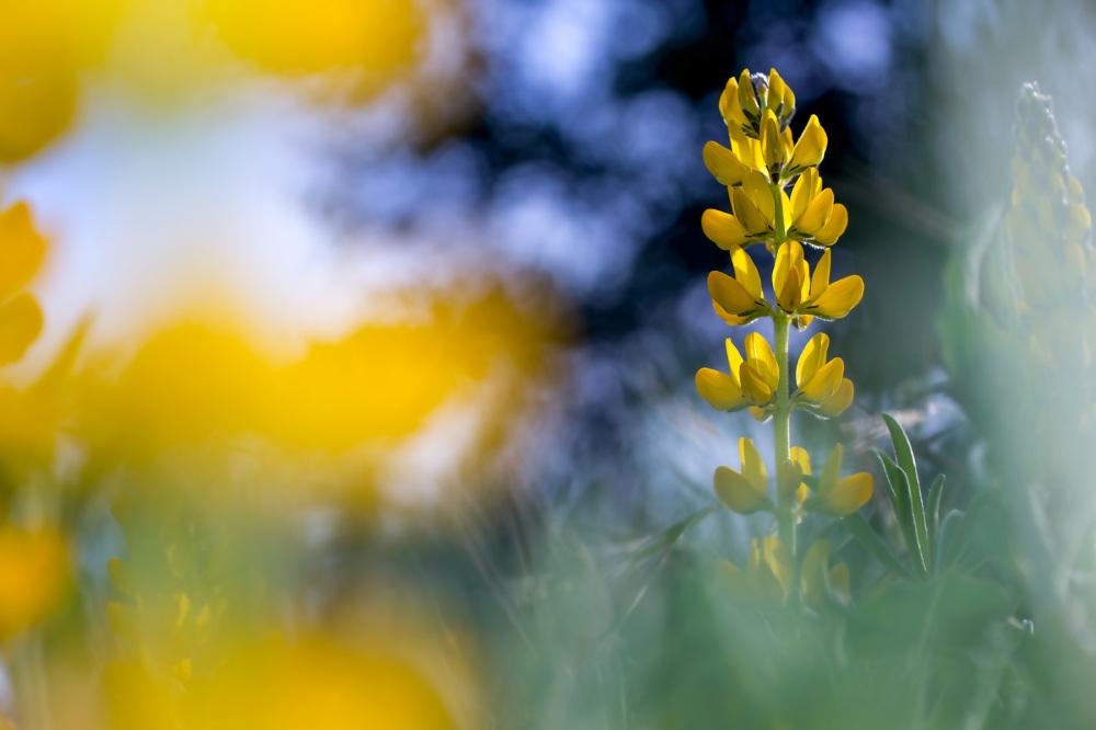 leiria flor tremoço