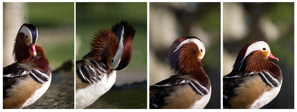 pnsac primavera pato