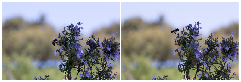 pnsac primavera flor alecrim abelha