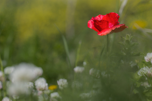pnsac primavera flor papoilas