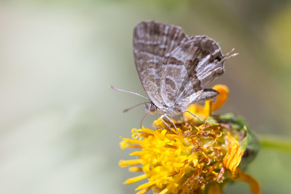 borboleta coimbra
