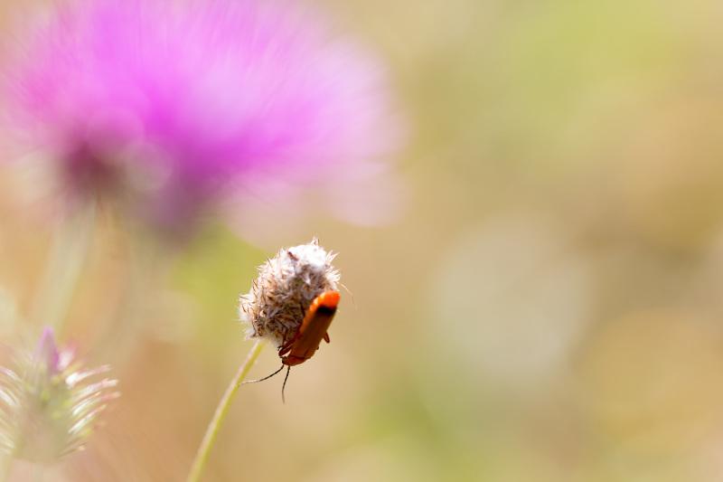 leiria insecto coleoptero primavera