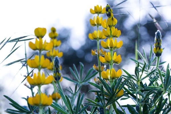tremoço flor