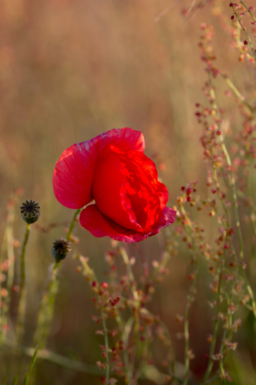 flor papoilas pnsac