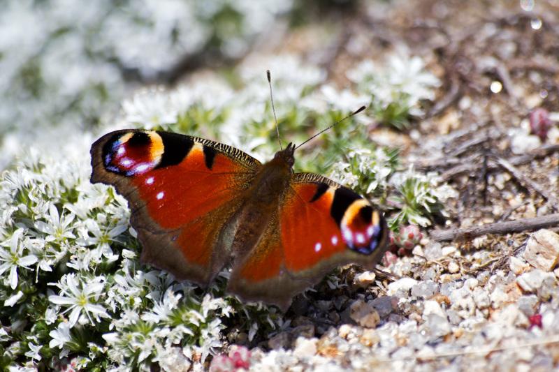 serraestrela covão-do-boi verão borboleta