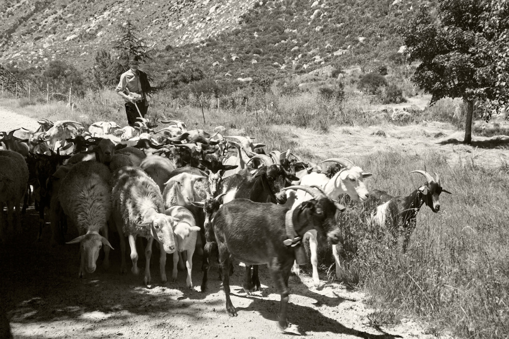 serraestrela pastor ovelhas cabras