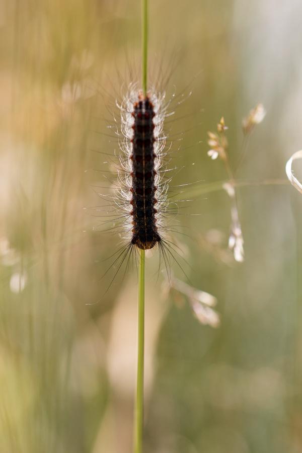 serraestrela lagarta borboleta