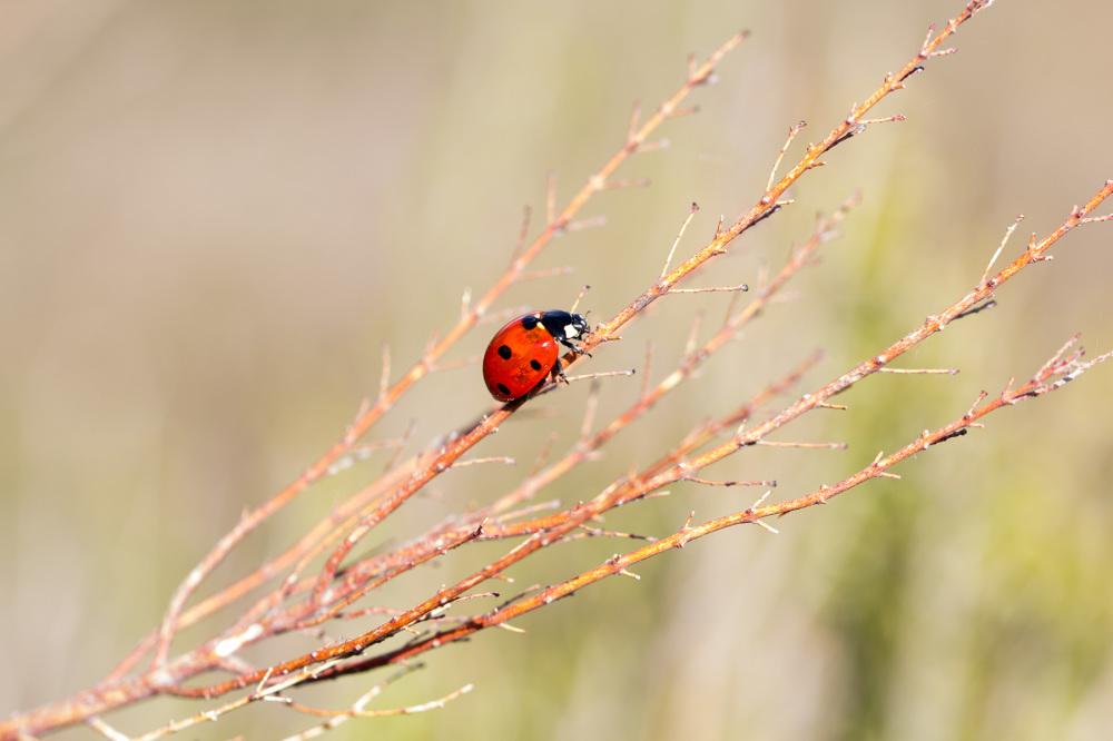serraestrela joaninha insecto salgadeiras