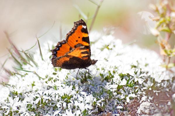 serraestrela  covão-do-boi borboleta