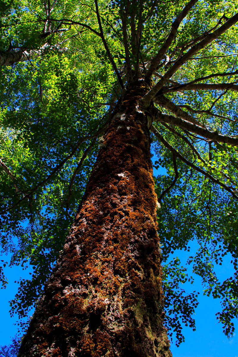 serraestrela covão-da-ametade árvore