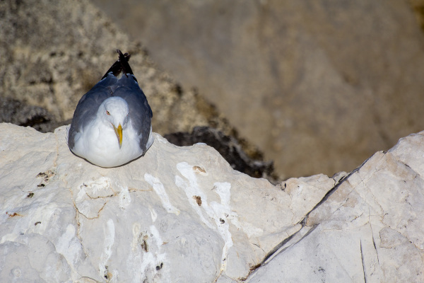peniche baleal gaivota  mar
