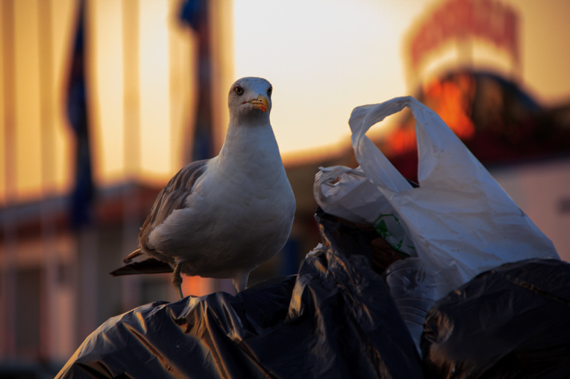 peniche baleal gaivota mar lixo