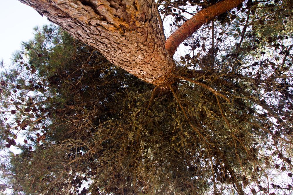 ericeira árvore pinheiro