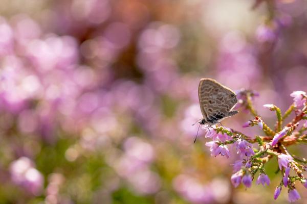 lousã santoantóniodaneve flor erica borboleta