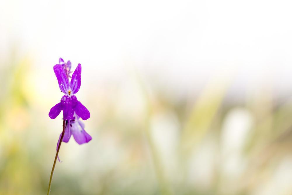 serraestrela vale-do-rossim flor