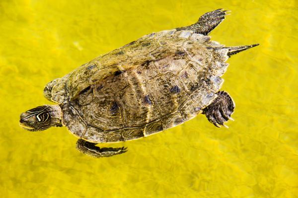 tartaruga buddha-eden Quinta-dos-Loridos