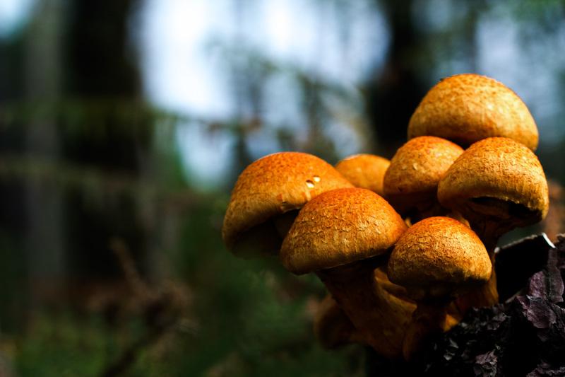 Cacho de cogumelos