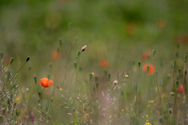 Dance with the poppies