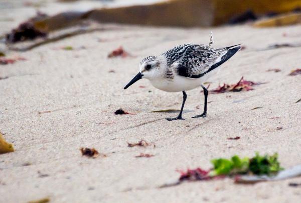 Pilrito-das-praias