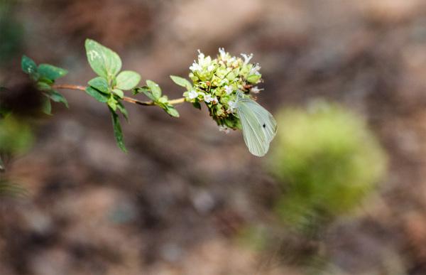 Flor de oregãos e borboleta da couve