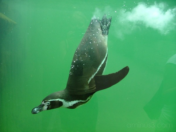 Penguin in water