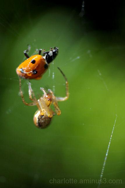 spider eating ladybird