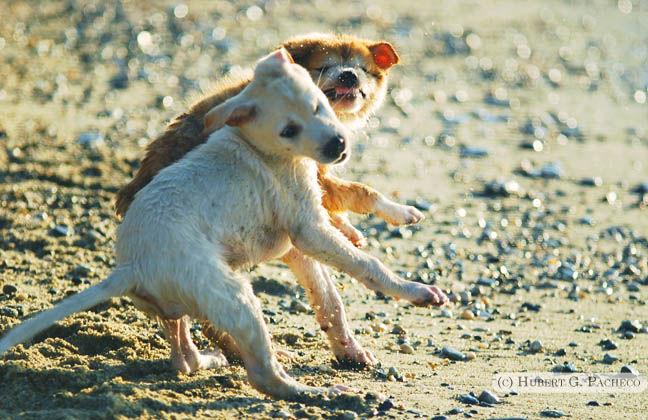 puerto galera puppy dog fight beach