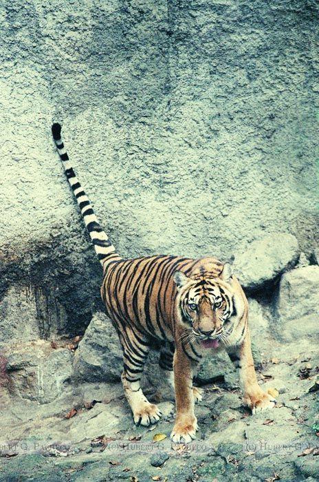 manila zoo tiger