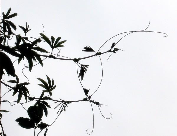 leafs,black & white