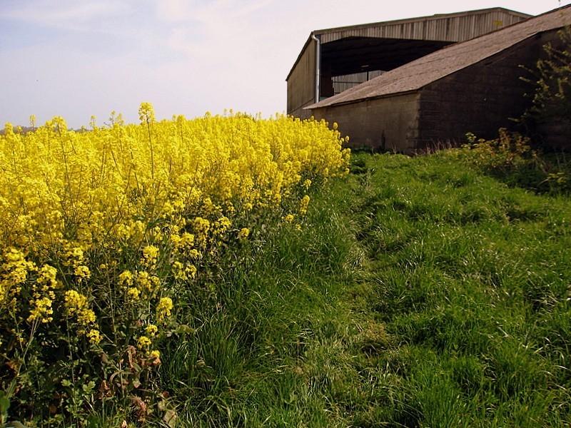yellow II.