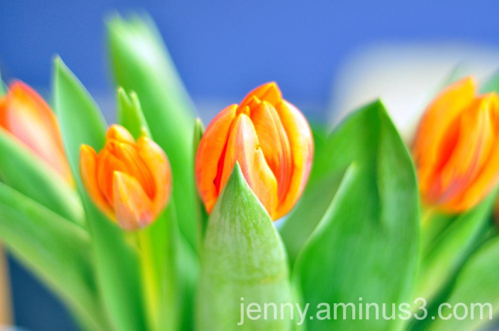 queen's day; tulips