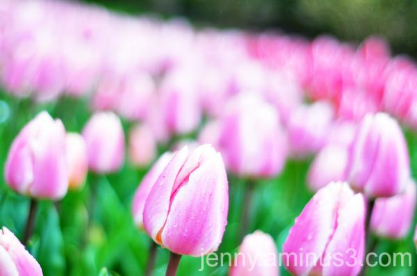 tulips; keukenhof