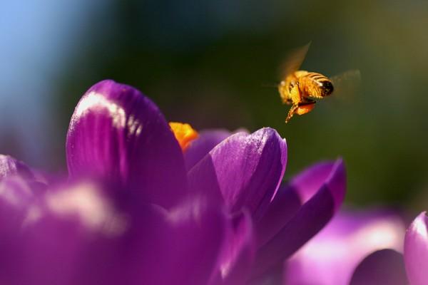 Crocus Pollen