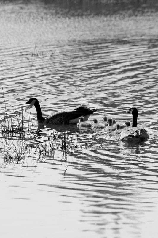 black and white goose family