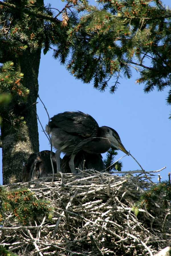 Great Blue Heron Chicks 5