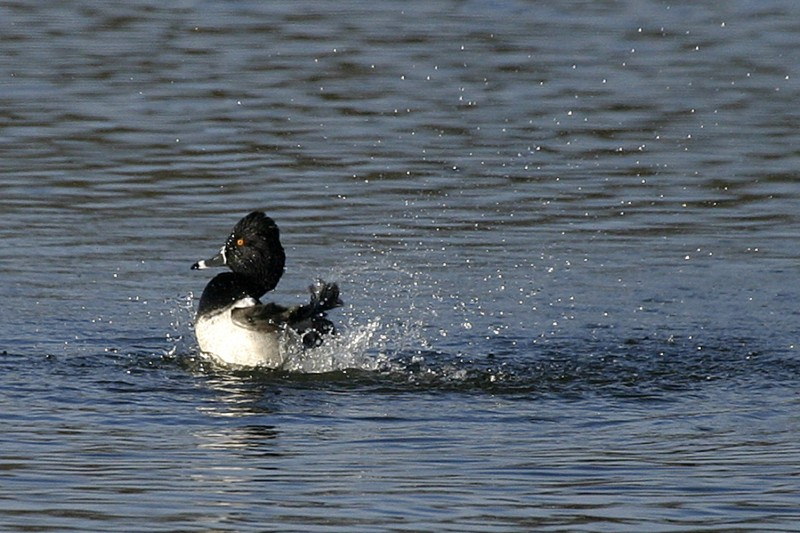 Ring-Necked Duck Male