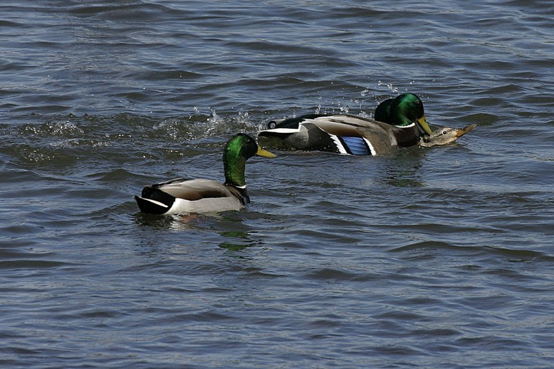 overfed mallard ducks