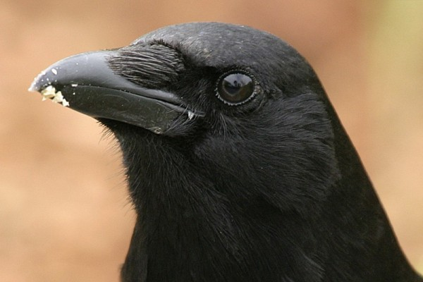 American crow Córvus brachyrhýnchos