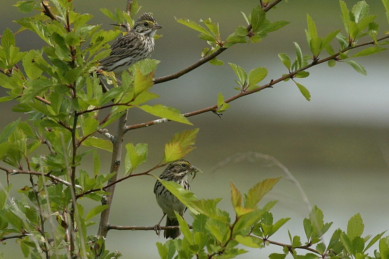 Savannah Sparrow Passérculus sandwichénsis