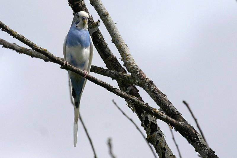 Feral Parakeet Melopsittacus undulatus
