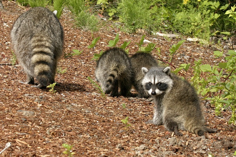 Raccoon with kits