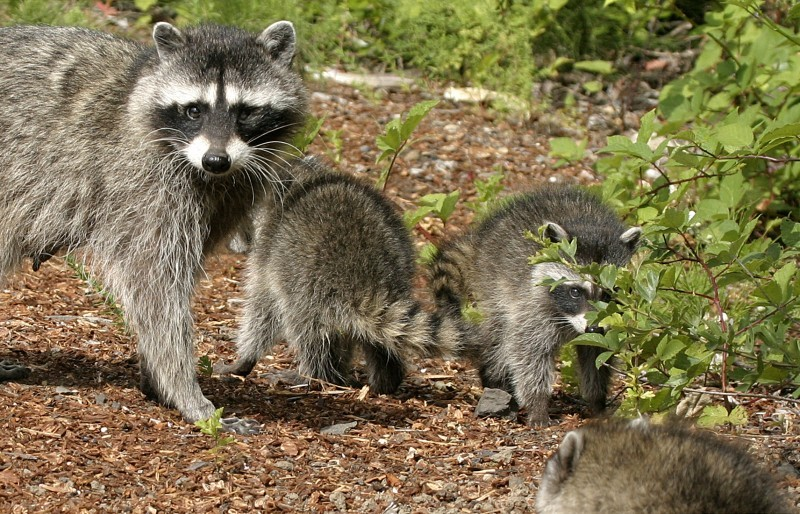 Raccoon with kits THREE