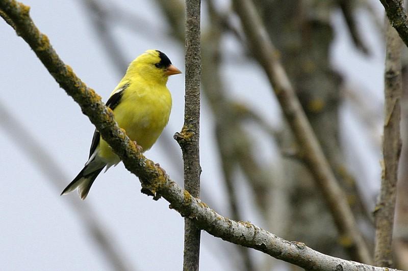 American Goldfinch Carduélis trístis.