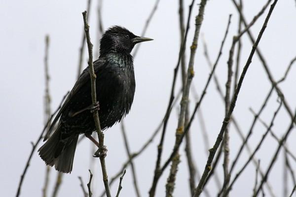 Starling Stúrnus vulgáris
