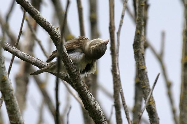 Fledgling Sparrow Melospíza melódia
